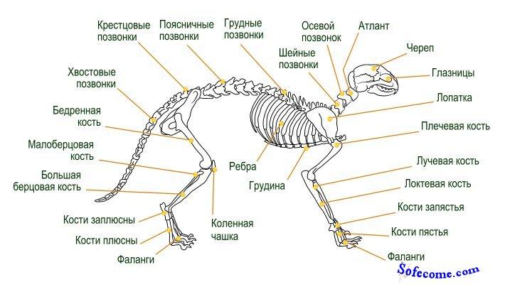 Скелет образует остов