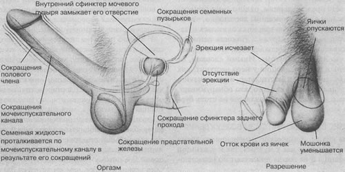 Порнофильмы секс с беременными сперма оставляется внутри полового органа женщины