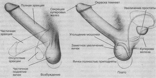 Оргазм и размер члена
