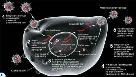 Вирусы существо или вещество  РЕПЛИКАЦИЯ ВИРУСА
