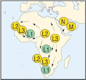 Пути географического распространения линий L2 и L3 человеческой популяции по Африке приблизительно 80-60 тыс. лет назад. Расселение линий M, N и R (произошедших из L2 и L3) по Европе и Азии менее 65 тыс. лет назад (рис. из обсуждаемой статьи в PNAS)