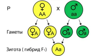 Генетика закон менделя