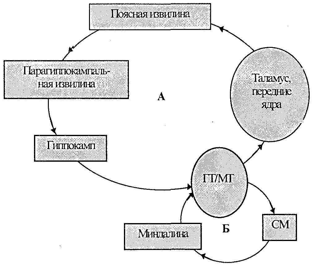 Система Лимбическая фото