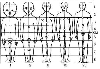 Изменения пропорций отделов тела в процессе роста человека