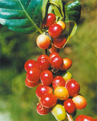 Плоды кофе. Фото Игоря Константинова.