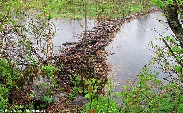 Бобры соорудили в Канаде гигантскую плотину