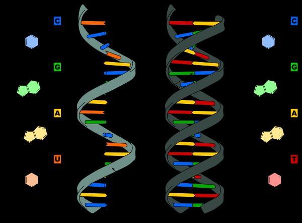 Похоже, термодинамические расчёты свидетельствуют в пользу ... Репликация ДНК Анимация