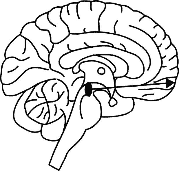 Покрышка Среднего Мозга фото