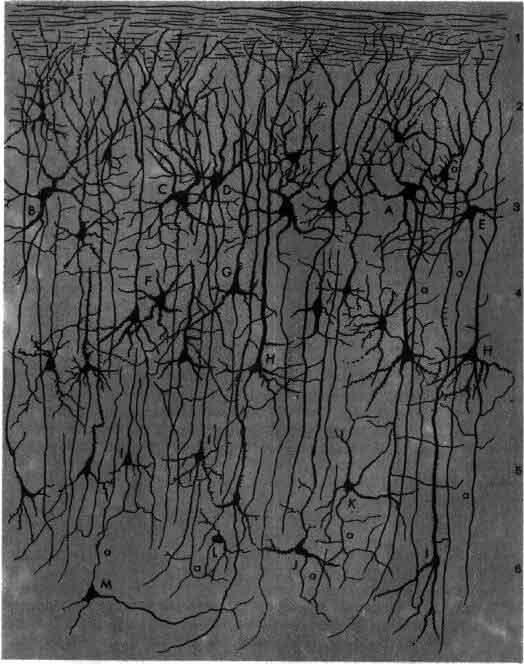 Гольджи нервная ткань из