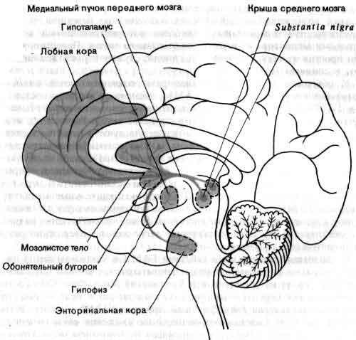 Психофизиология: МОЗГ Д.