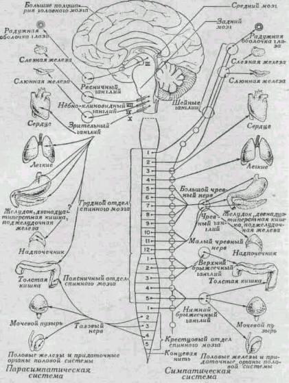 Схема вегетативной нервной