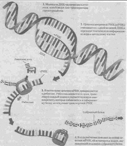 генетической информации «в