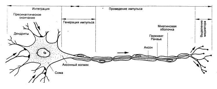 Рис. 3.12 Мотонейрон спинного