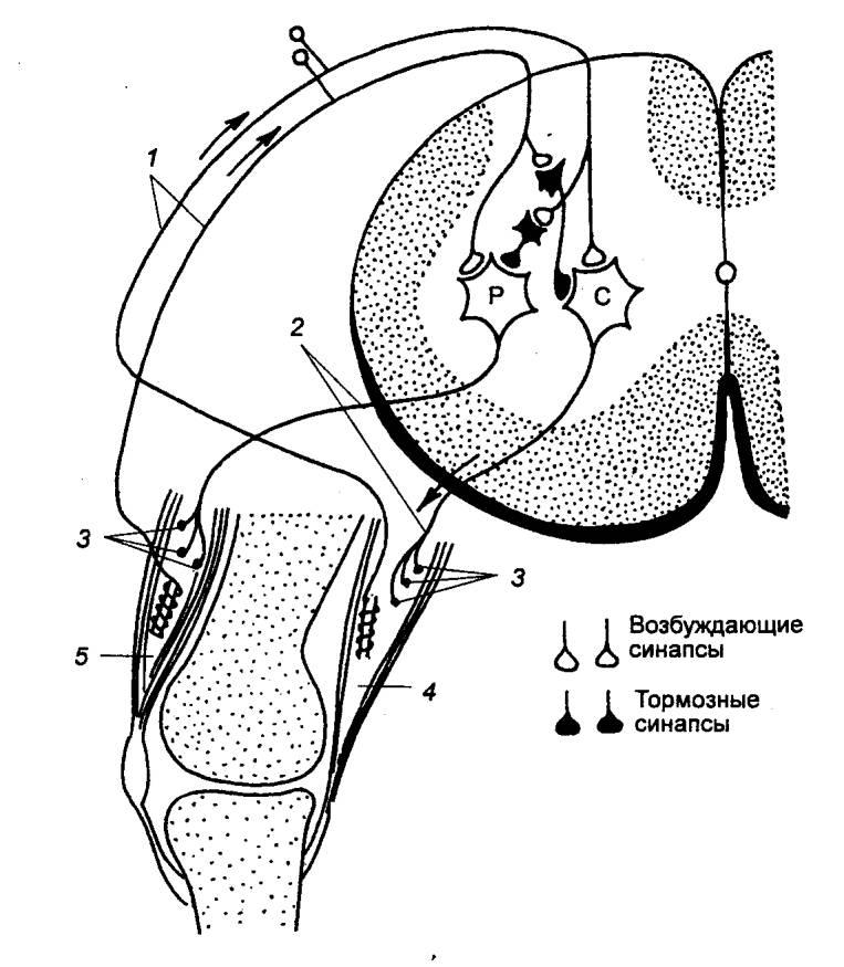 Рис. 3.16 Дуга рефлекса растяжения и реципрокного торможения мышц