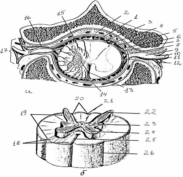 б - белое и серое вещество спинного мозга. пространство, 4... а - поперечный срез через позвоночный канал на уровне...