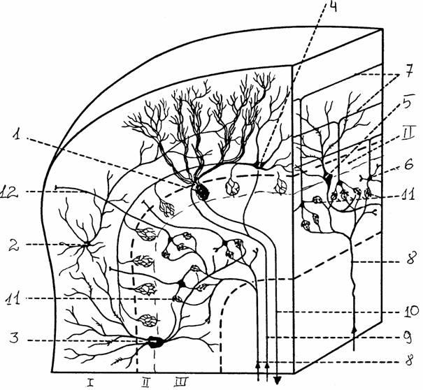 2 - звездчатая клетка, 3... молекулярный слой. слой, Ш - гранулярный слой.  Рис. 14.  Кора мозжечка и ее нейронный...
