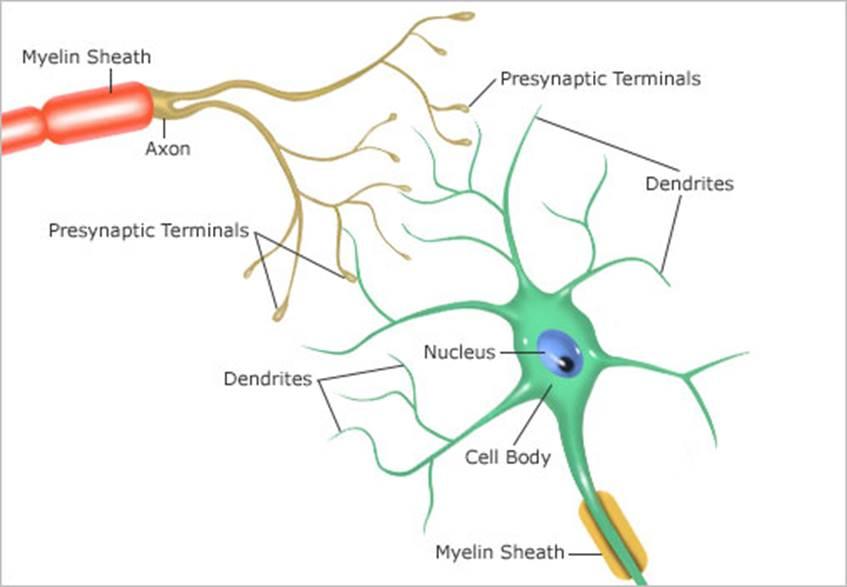 brain biology encyclopedia cells body function - 508×352