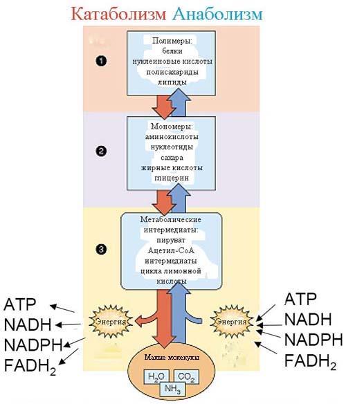 Блочная структура метаболизма